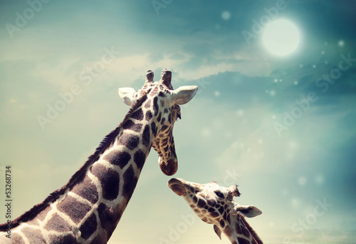 Staande foto Giraffe Giraffes in friendship or love concept image