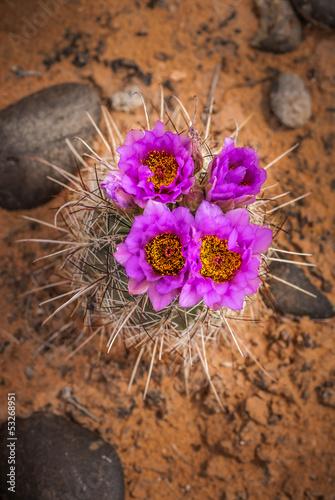 Cacti Blossom