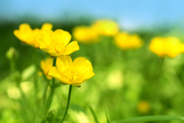Beautiful spring buttercups