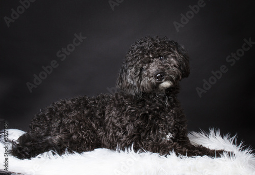 Labradoodle photographed  in the studio