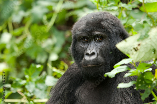 Portrait of Mountain Gorilla Female