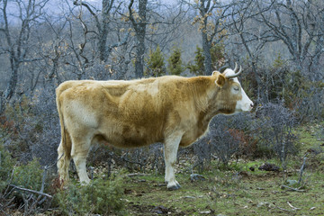 Brown cow in a praire