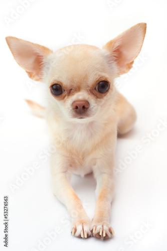 Сhihuahua on white background