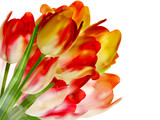 Tulips over white with copyspace. EPS 10