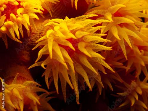Orange Cup Coral - Tubastraea coccinea - 53287931