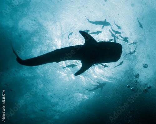 Fotobehang Duiken Whale Shark - Rhincodon typus