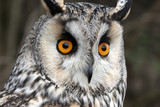 Long-eared owl, Asio otus,