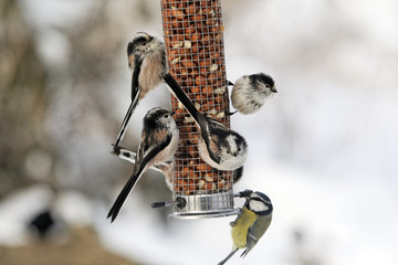 Long-tailed tit, Aegithalos caudatus, group on peanut