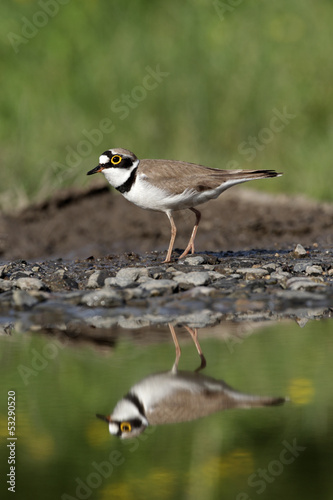 Little-ringed plover, Charadrius dubius,