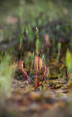 Closeup of Great Sundew
