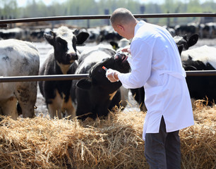 male  cow veterinarian