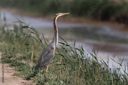 Purple heron, Ardea purpurea,