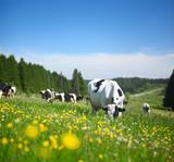 Fototapety Cows