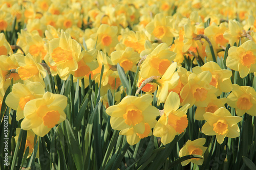 Yellow daffodils in a field