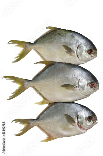 three horse mackerel