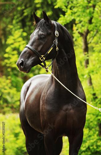 Pferd (Hengst, rappe) - 53303127