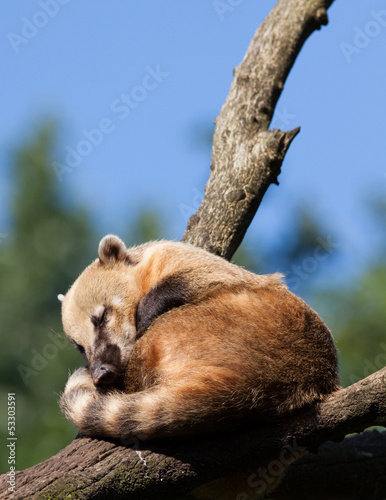 South American coati or ring-tailed coati (Nasua nasua) resting
