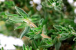 Macro Photo of Thyme Leaves and Stalk