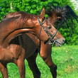 chestnut Trakehner stallion