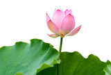 isolated pink lotus