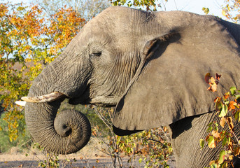 African elephant in the Kruger National Park