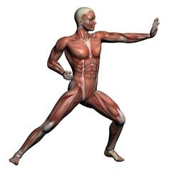Human Anatomy - Male Muscles