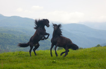 Two black stallions on a pasture
