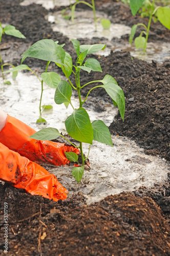 hands planting pepper seedlings into the ground