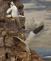Gannets get together