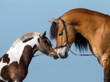 Two horses sniff each other on blue background. poster