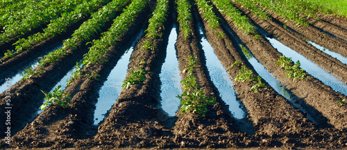 Flooded field with potatoes plants - damaged cultivation