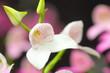 白い蘭 ディサ
