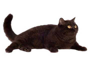 brown british breed cat