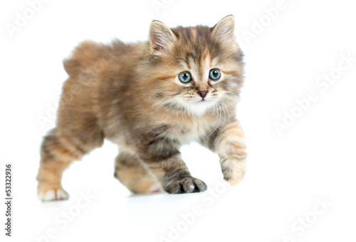 Kuril bobtail kitten stealing or sneaking