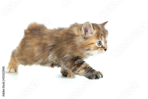 Kuril bobtail cat stealing