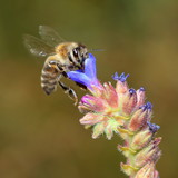 Flying bee under blue flowers. Macro