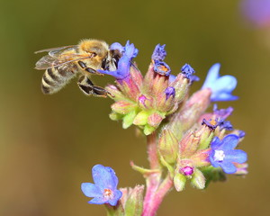 Bee on blue flowers. Macro