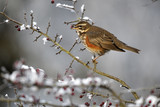 Redwing, Turdus iliacus,frosty hawthorn berries, poster