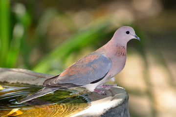 Dove at watering place