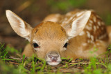 Just born young fallow deer