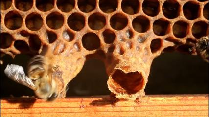 Birth of Queen Bee
