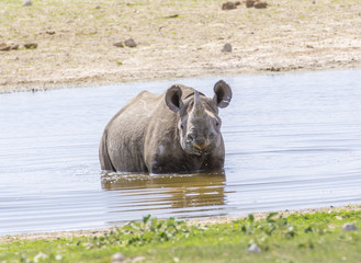 Black Rhino standing in water