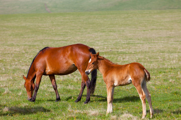 Horse with a foal are grazed on a mountain pasture