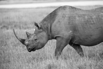 Black Rhino walking - monochrome