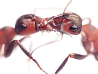 ants are tender only in family, focus on jaws
