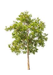 Lagerstroemia floribunda tree