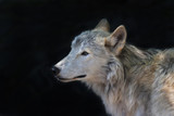 side portrait of an arctic wolf on black background