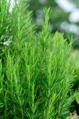 Pianta di Rosmarino (Rosmarinus officinalis)