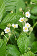 Wild Strawberry Flower