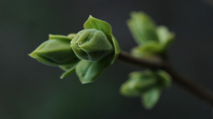 Spooky Spring Bud. Focus on tips of bud.